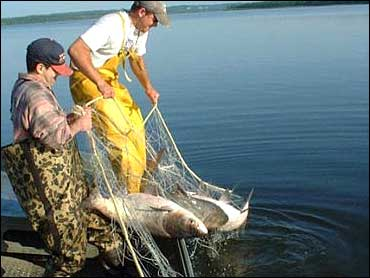 Fishery researchers lift a trammel net full of large Asian carp from Swan Lake, a backwater lake of the Illinois River, in this file photo.  (CBS/AP)