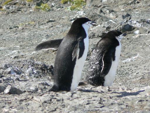 Los polluelos de pinguinos persiguen a su madre por el alimento. El Krill, un crustáceo que es una fuente importante del alimento para los pingüinos, crece debajo del hielo del mar. Con el calentamiento global hay menos hielo, menos krill y a los polluelos de pingüinos les está faltando el alimento.
