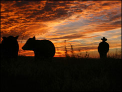 Man in a cowboy hat and cattle against an amazing sunset.